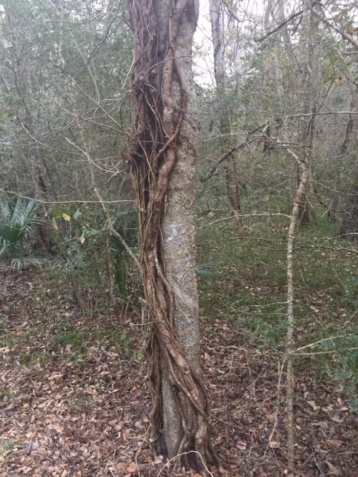 tree-w-vines